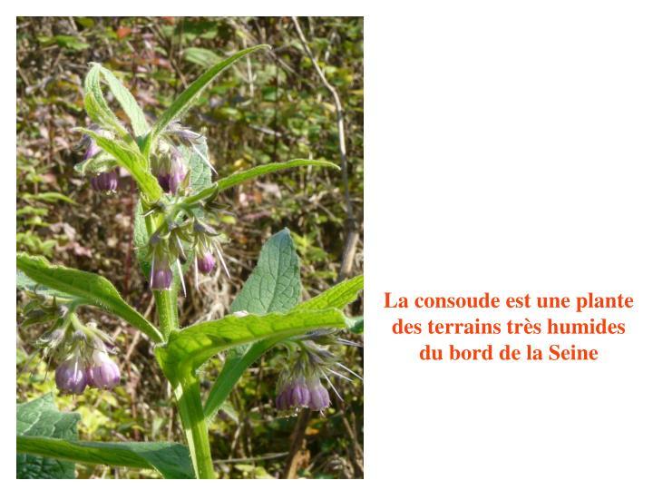 La consoude est une plante des terrains très humides