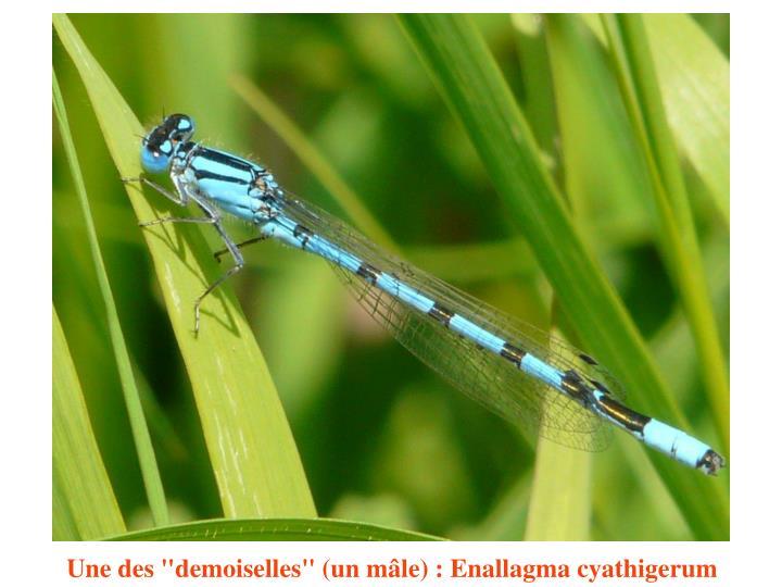 """Une des """"demoiselles"""" (un mâle) : Enallagma cyathigerum"""