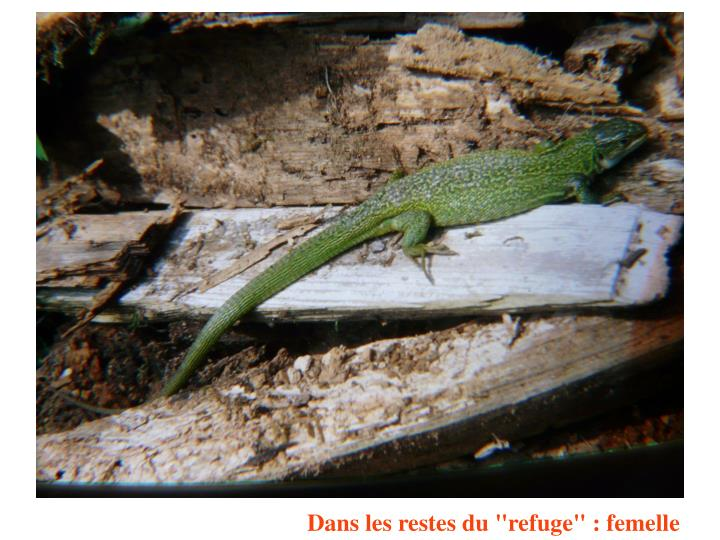 """Dans les restes du """"refuge"""" : femelle"""