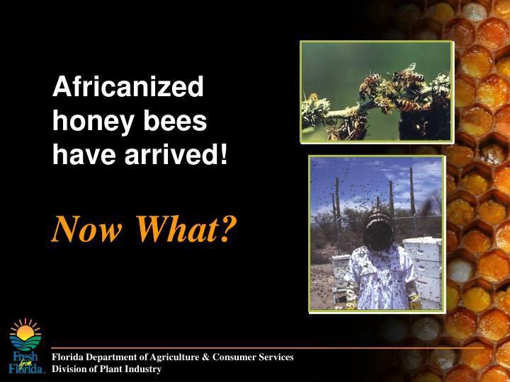 Africanized
