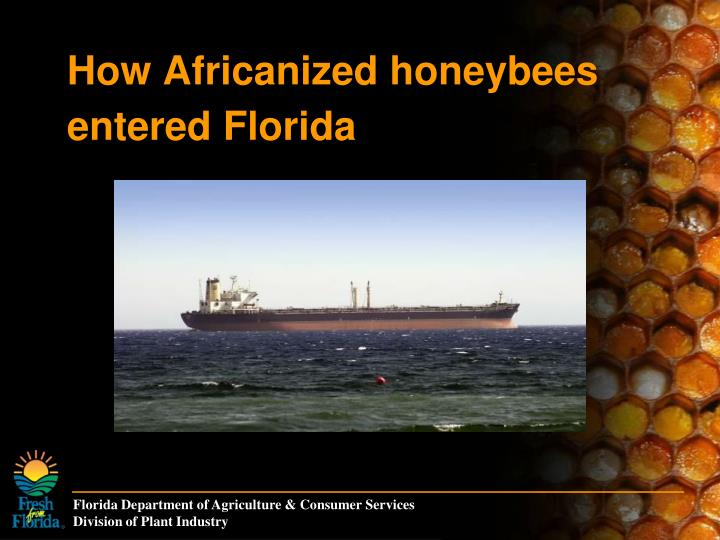 How Africanized honeybees entered Florida