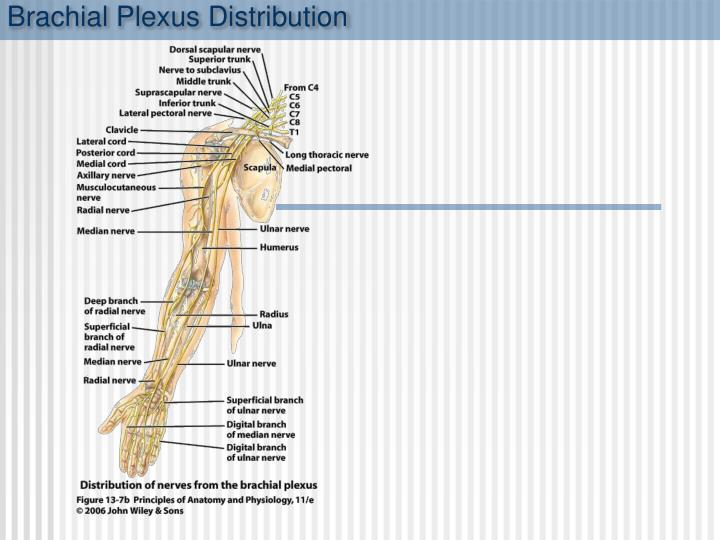 Brachial Plexus Distribution