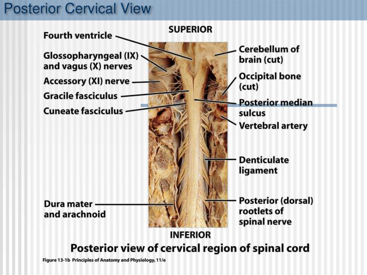 Posterior Cervical View