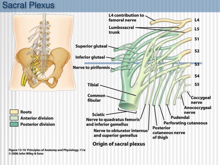 Sacral Plexus