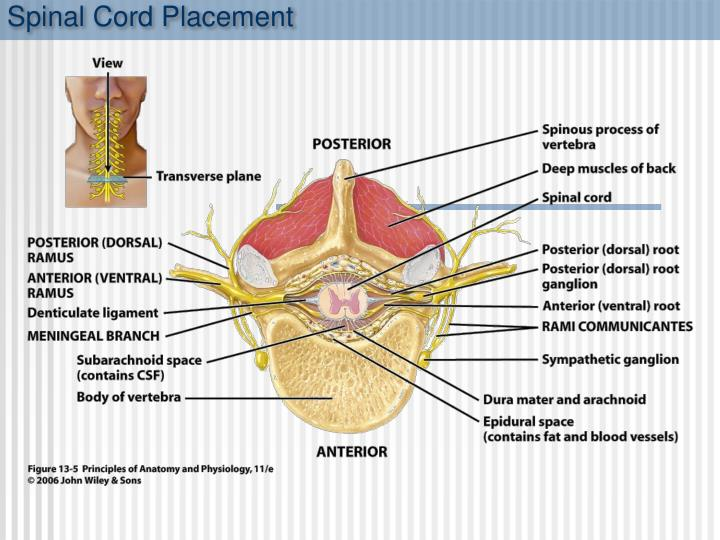 Spinal Cord Placement