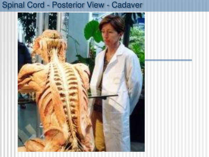Spinal cord posterior view cadaver
