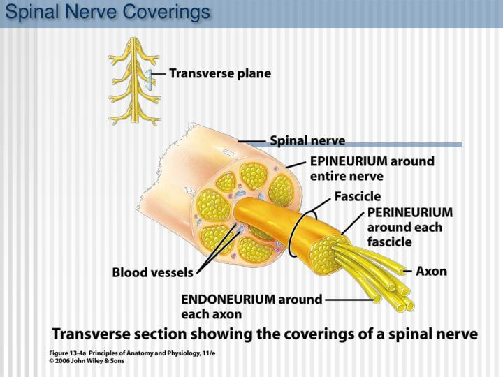 Spinal Nerve Coverings