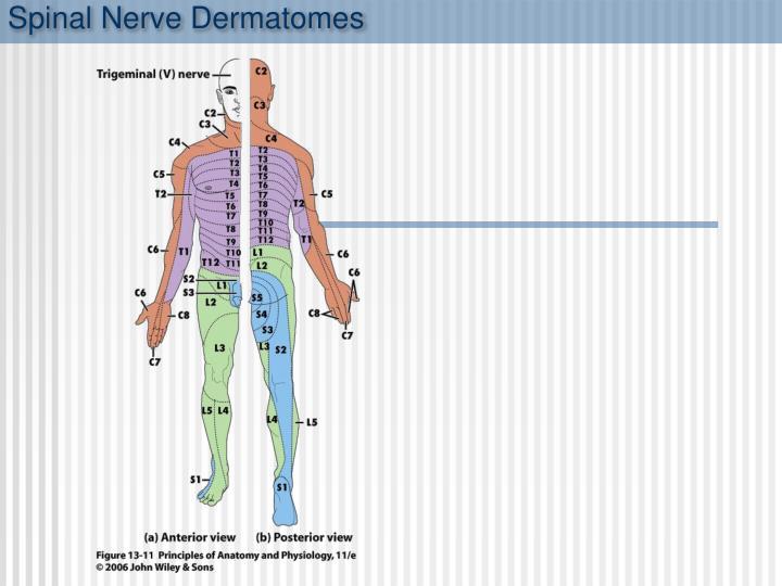 Spinal Nerve Dermatomes