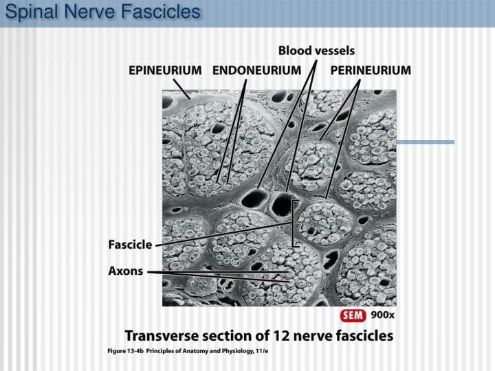Spinal Nerve Fascicles