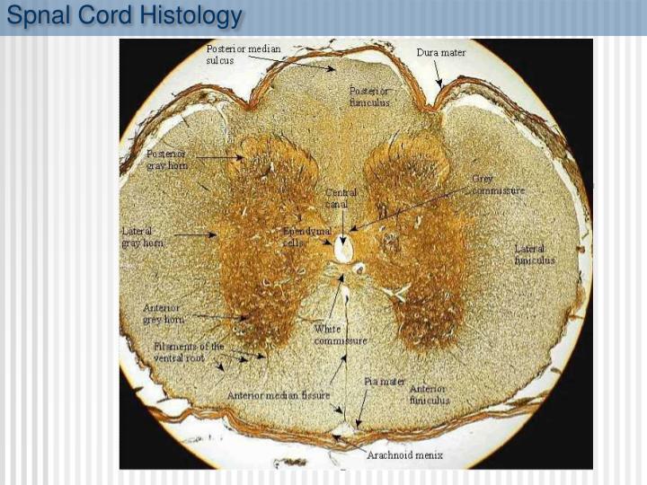 Spnal Cord Histology