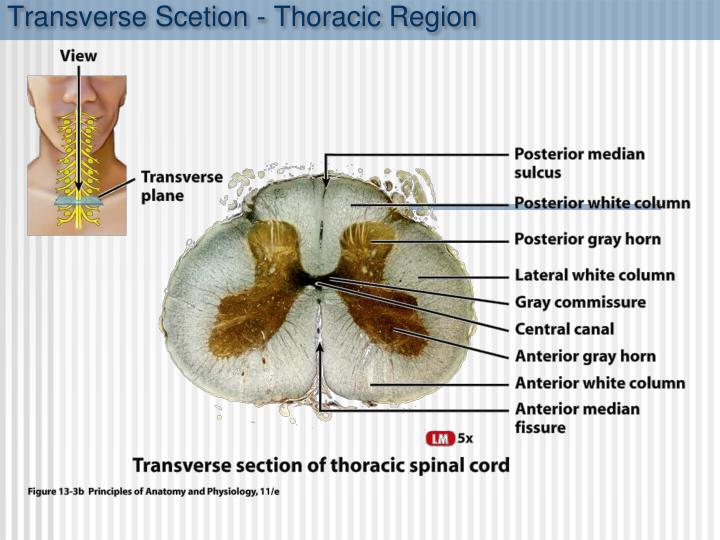 Transverse Scetion - Thoracic Region
