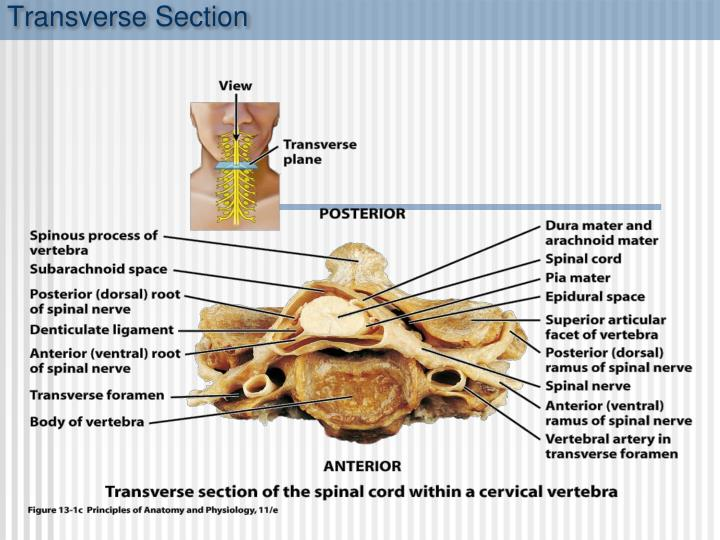 Transverse Section