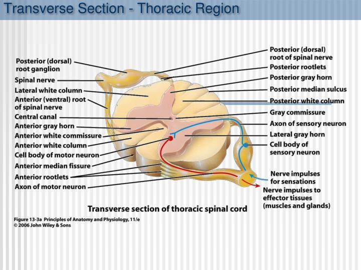 Transverse Section - Thoracic Region