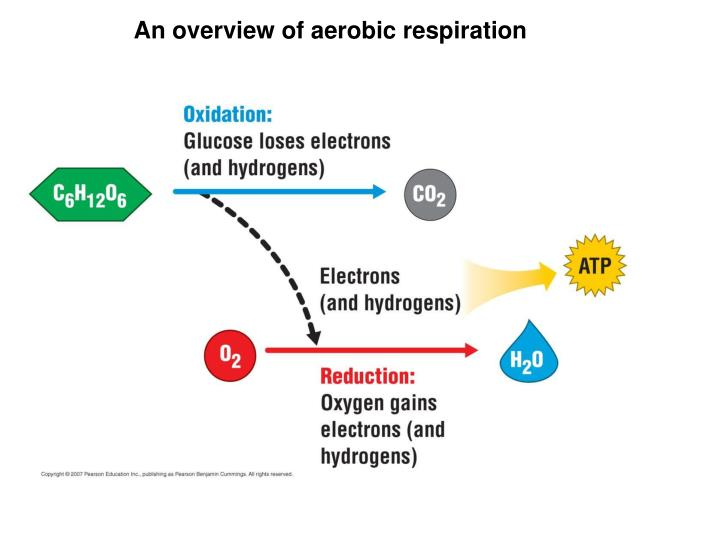 An overview of aerobic respiration