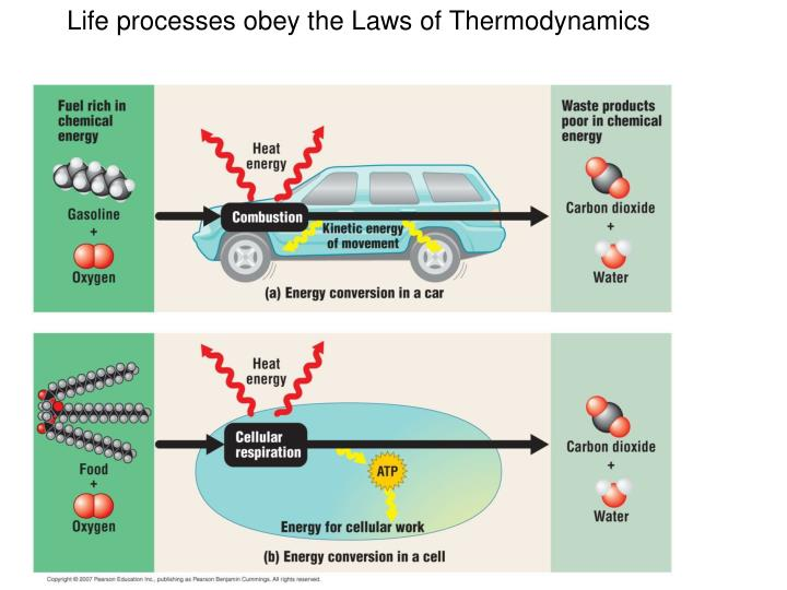 Life processes obey the Laws of Thermodynamics