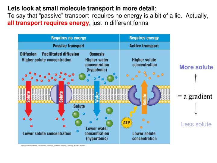 Lets look at small molecule transport in more detail