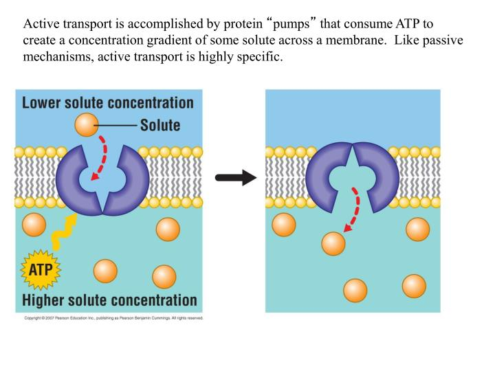 Active transport is accomplished by protein