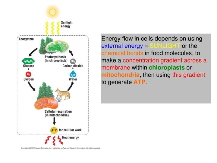 Energy flow in cells depends on using