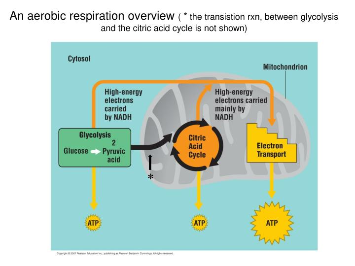 An aerobic respiration overview