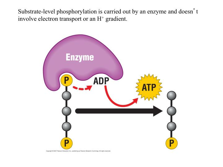 Substrate-level phosphorylation is carried out by an enzyme and doesn