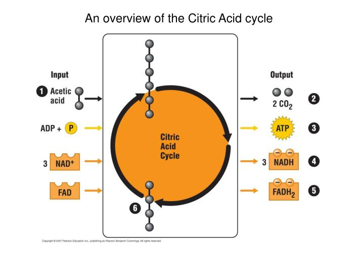 An overview of the Citric Acid cycle
