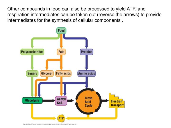 Other compounds in food can also be processed to yield ATP, and respiration intermediates can be taken out (reverse the arrows) to provide intermediates for the synthesis of cellular components .