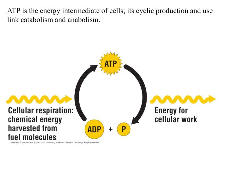 ATP is the energy intermediate of cells; its cyclic production and use link catabolism and anabolism.