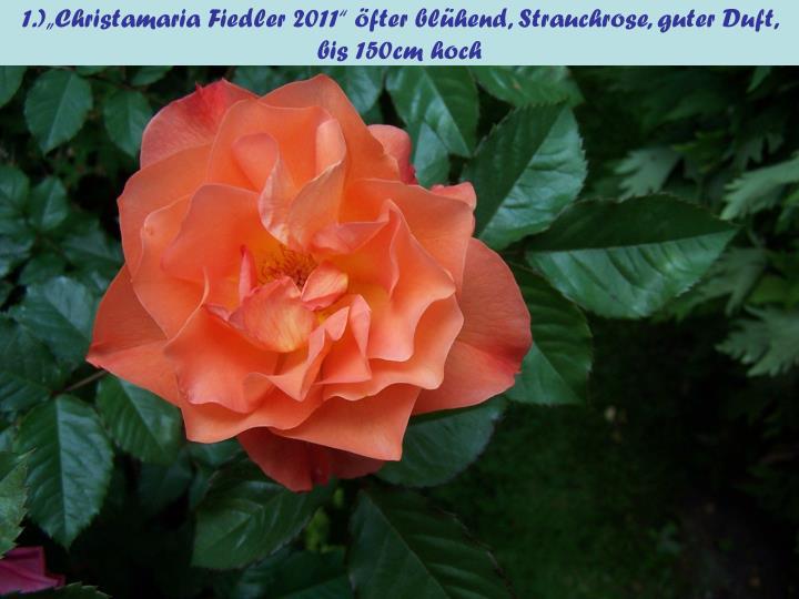 """1.)""""Christamaria Fiedler 2011"""" öfter blühend, Strauchrose, guter Duft, bis 150cm hoch"""