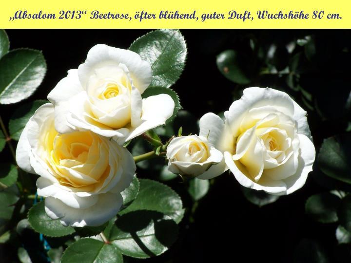 """""""Absalom 2013"""" Beetrose, öfter blühend, guter Duft, Wuchshöhe 80 cm."""