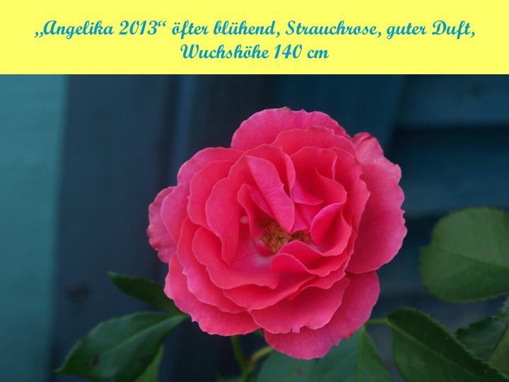 """""""Angelika 2013"""" öfter blühend, Strauchrose, guter Duft,"""