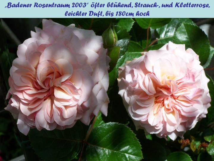 """""""Badener Rosentraum 2003"""" öfter blühend, Strauch-, und Kletterrose, leichter Duft, bis 180cm hoch"""
