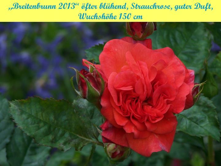 """""""Breitenbrunn 2013"""" öfter blühend, Strauchrose, guter Duft,"""