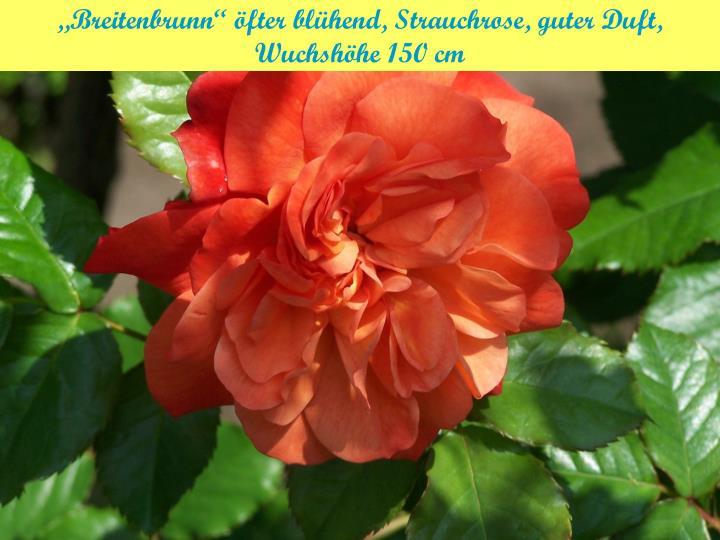 """""""Breitenbrunn"""" öfter blühend, Strauchrose, guter Duft,"""