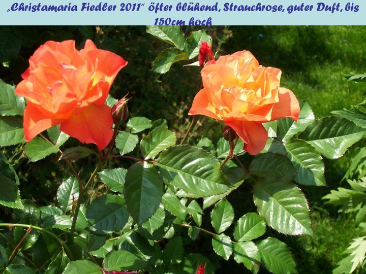 """""""Christamaria Fiedler 2011"""" öfter blühend, Strauchrose, guter Duft, bis 150cm hoch"""