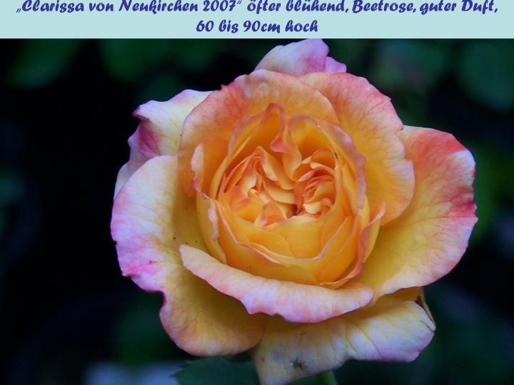 """""""Clarissa von Neukirchen 2007"""" öfter blühend, Beetrose, guter Duft,"""