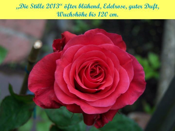 """""""Die Stille 2013"""" öfter blühend, Edelrose, guter Duft,"""
