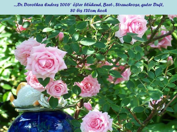 "..""Dr. Dorothea Endres 2006"" öfter blühend, Beet-, Strauchrose, guter Duft,"