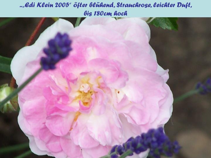 """..""""Edi Klein 2005"""" öfter blühend, Strauchrose, leichter Duft,"""