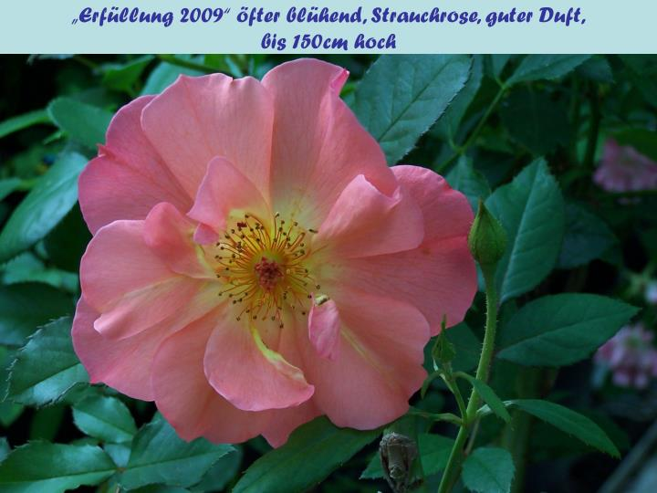 """Erfüllung 2009"" öfter blühend, Strauchrose, guter Duft,"
