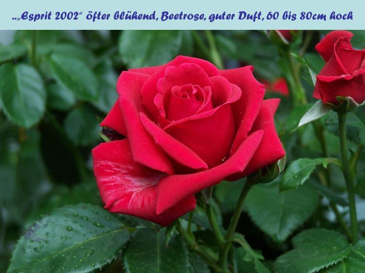 """..""""Esprit 2002"""" öfter blühend, Beetrose, guter Duft, 60 bis 80cm hoch"""