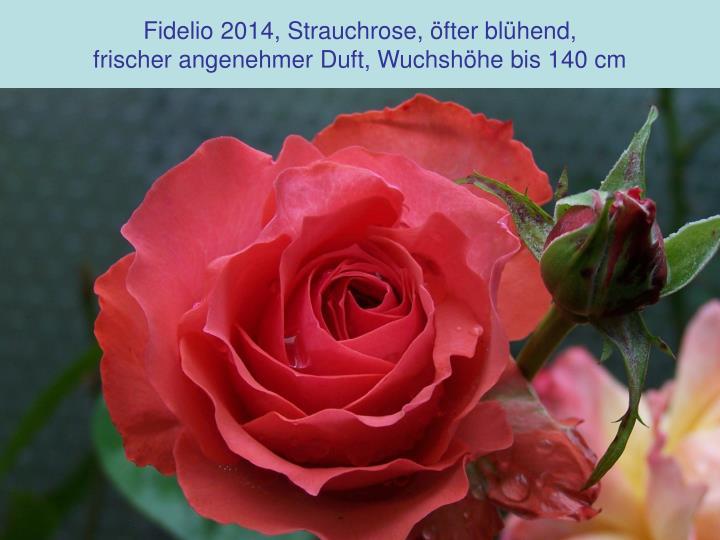 Fidelio 2014, Strauchrose, öfter blühend,