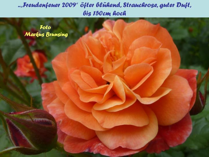 """..""""Freudenfeuer 2009"""" öfter blühend, Strauchrose, guter Duft,"""