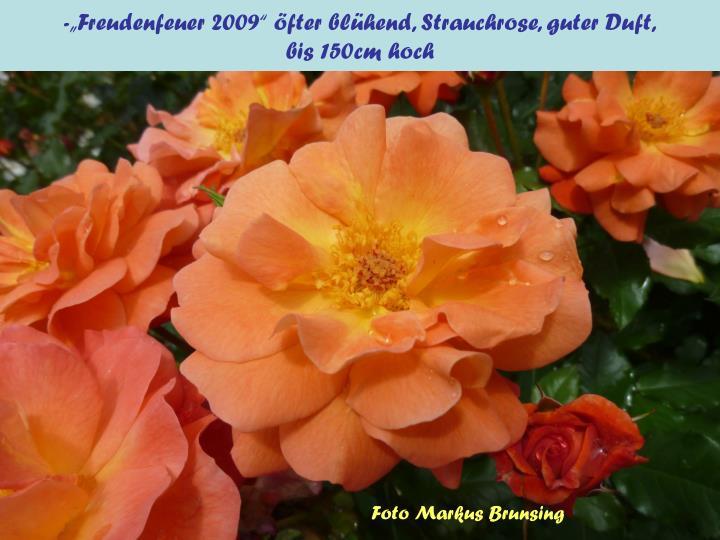 """-""""Freudenfeuer 2009"""" öfter blühend, Strauchrose, guter Duft,"""