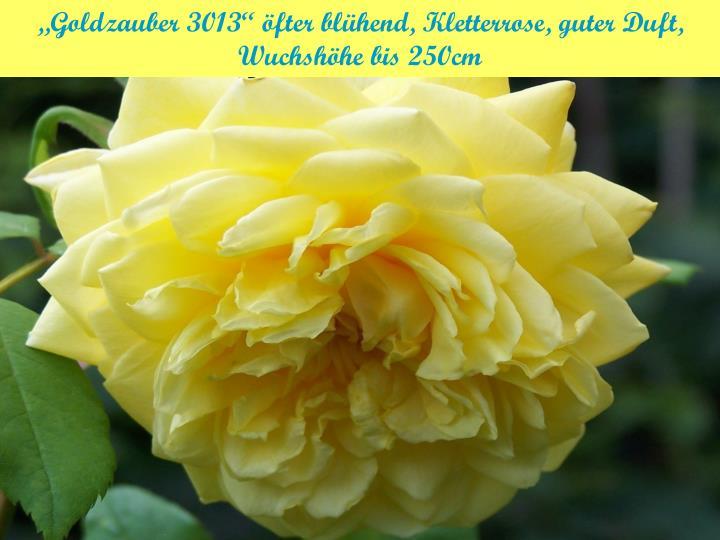 """Goldzauber 3013"" öfter blühend, Kletterrose, guter Duft,"