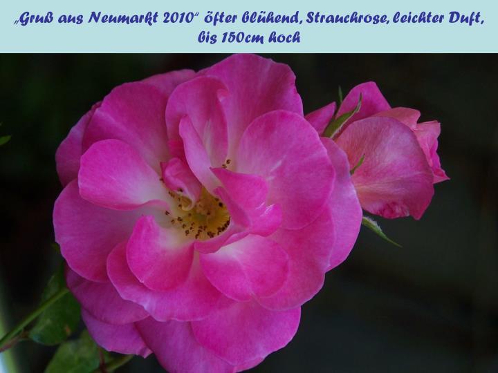 """""""Gruß aus Neumarkt 2010"""" öfter blühend, Strauchrose, leichter Duft,"""
