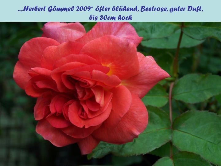 """..""""Herbert Gömmel 2009"""" öfter blühend, Beetrose, guter Duft,"""