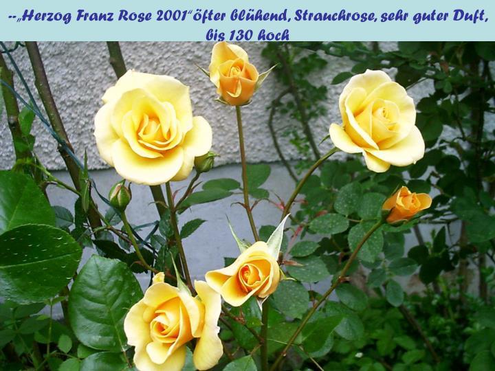 """--""""Herzog Franz Rose 2001""""öfter blühend, Strauchrose, sehr guter Duft, bis 130 hoch"""