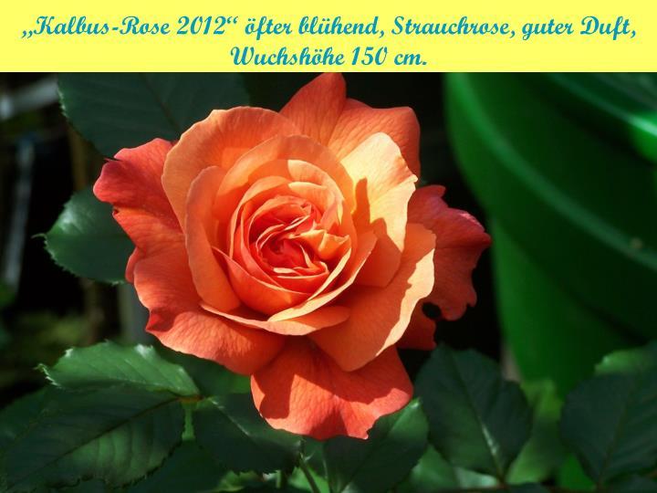 """""""Kalbus-Rose 2012"""" öfter blühend, Strauchrose, guter Duft,"""