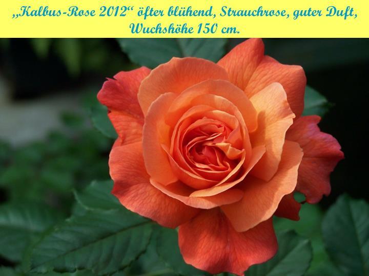 """""""Kalbus-Rose 2012"""" öfter blühend, Strauchrose, guter Duft, Wuchshöhe 150 cm."""