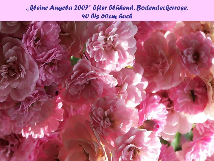 """.""""kleine Angela 2007"""" öfter blühend, Bodendeckerrose."""